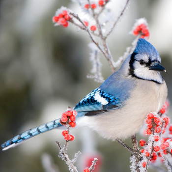 blue jay bird perched on berry branch