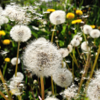 group of dandelions outside