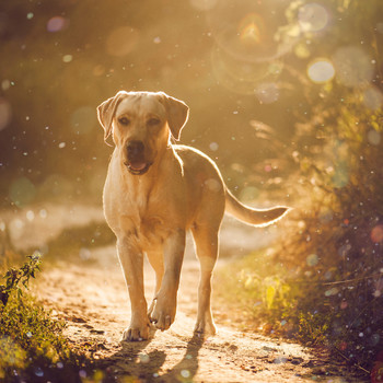 yellow lab walking outside on trail