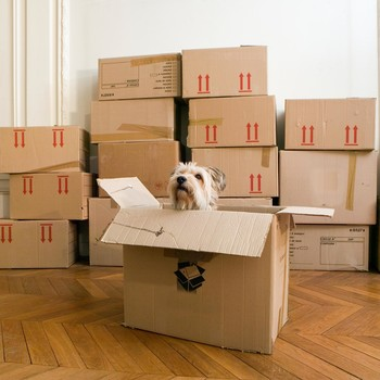 dog looking out from box in room of boxes