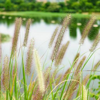 foxtail grass near pond