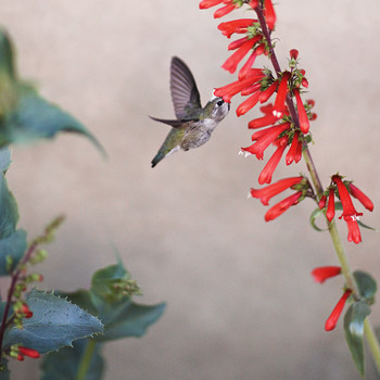 Three Things You Didn't Know About Hummingbirds