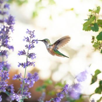 hummingbird drinking from purple flower