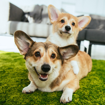 Corgis on Couch