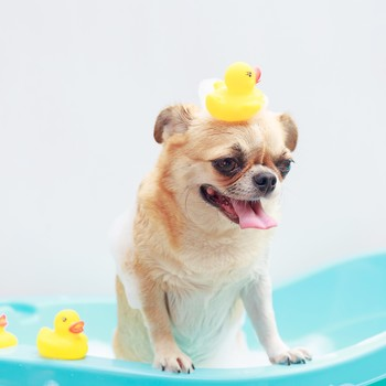happy dog in a bathtub with rubber duckies