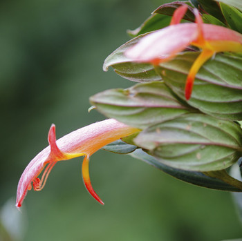 This Plant That Looks Like Jumping Goldfish—Learn How to Grow and Care for One at Home