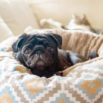pug in a dog bed