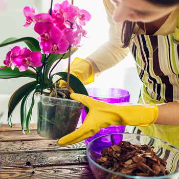woman potting pink orchid plant