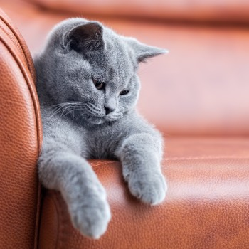 cat sitting on leather couch