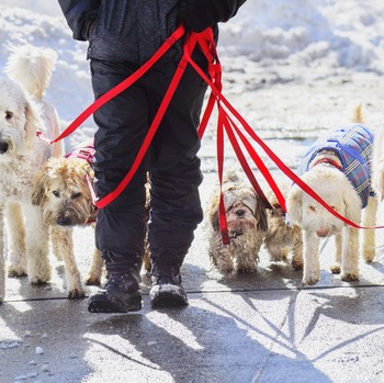 man walking dogs on a snowy sidewalk