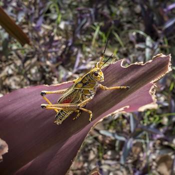 grasshopper eating plant
