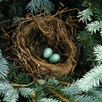 robin's egg nest in a pine tree