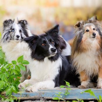 three dogs in backyard