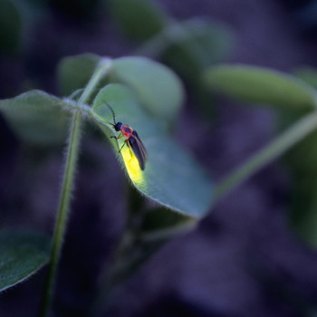 Firefly on a leaf at night