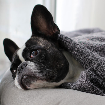 french bulldog wrapped up in gray blanket