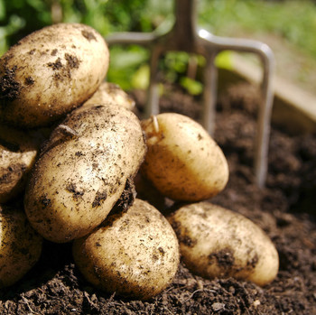 harvested potatoes in dirt with rake