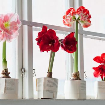 amaryllis flowers on a window sill