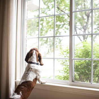 dog waiting by window looking for owner