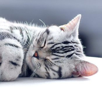 Black and white striped cat sleeping