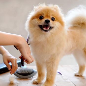 Pomeranian getting a trim