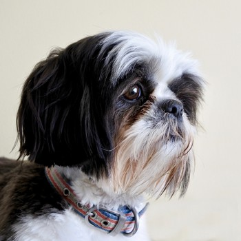 a Shih-Tzu dog's face with tear stains