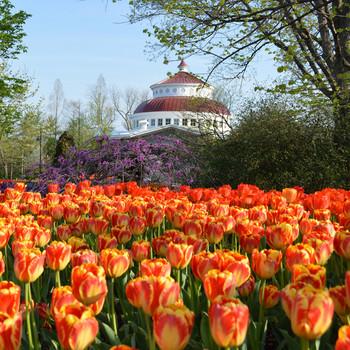 tulips bloom at the Cincinnati Zoo