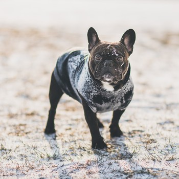 French bulldog wearing a sweater in the snow.