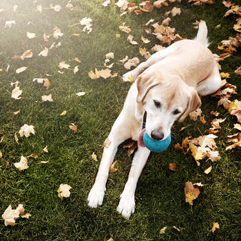 labrador with ball sitting amongst leaves