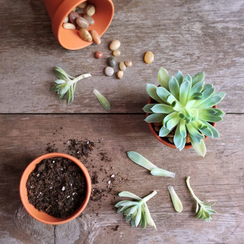 succulents being potted on wooden surface