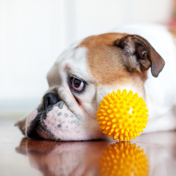 sad bulldog laying down by yellow toy