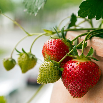 strawberries growing in planter