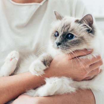 woman holding a birman cat