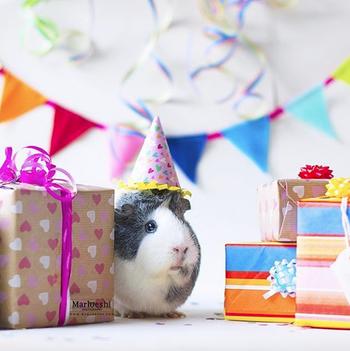 Mieps the guinea pig enjoys her birthday party