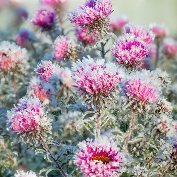 chrysanthemum flowers covered in autumn frost
