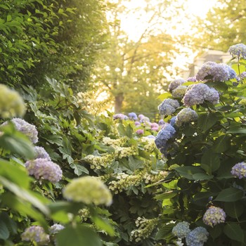 Sunlight hits hydrangeas