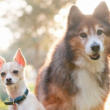 a Chihuahua and a larger, fluffy mutt sit next to each other and are backlit by the sun