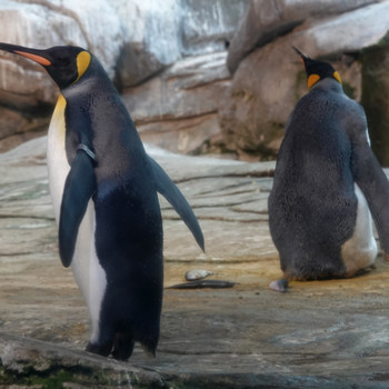 Gay penguins, Skipper and Ping, at the Berlin Zoo
