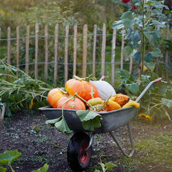 wheelbarrow filled with pumpkins sitting in a garden