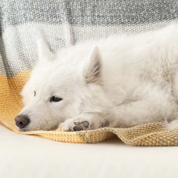 samoyed dog laying on couch