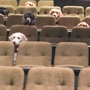 Service dogs sitting at performance in theatre