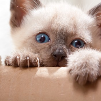 Siamese kitten with claws