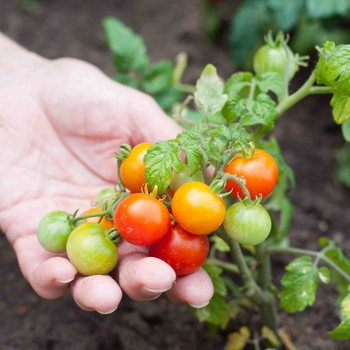 growing tomatoes in garden