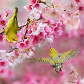 Birds Flying Against Pink Flowers