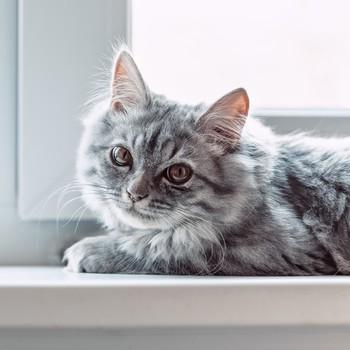 domestic gray cat sitting by window