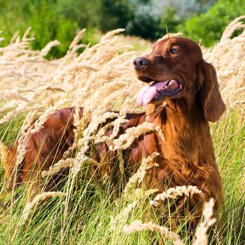 irish setter dog in grass