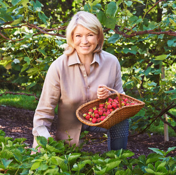 martha picking early summer strawberries