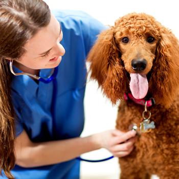 Veterinarian checking dog