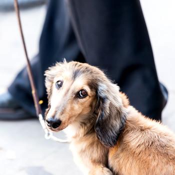 Dachshund dog on leash