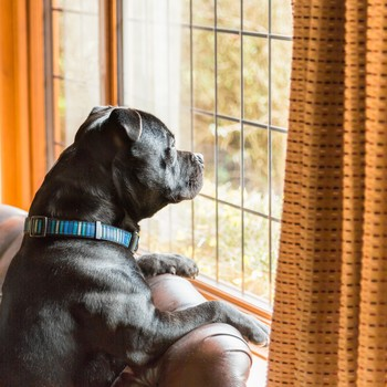Staffordshire bull terrier dog on the sofa looking out of a window