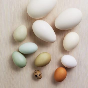 Egg Glossary